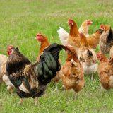 Mesures de biosécurité applicables aux basse-cours vis-à-vis du risque «grippe aviaire»
